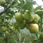 mele sotto la pioggia