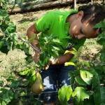 Gabriele raccoglie le pere