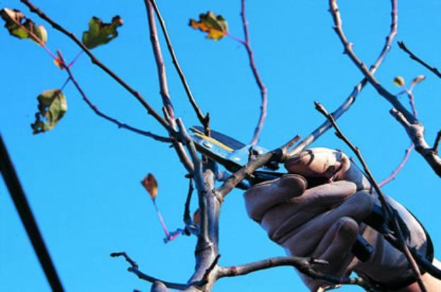 Come potare le piante for Potatura alberi da frutto