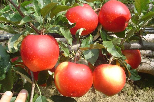 Difesa alberi da frutta for Alberi frutta vendita