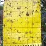 trappola cromotropica per il controllo degli insetti dannosi