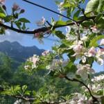 Alben  in fiore