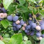 mirtilli del frutteto